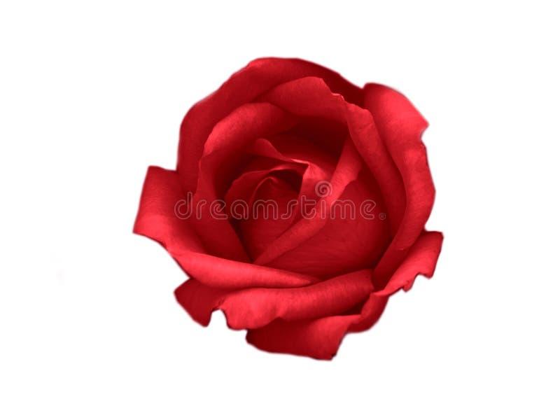 Rose de rouge, fleur sur le fond blanc photo libre de droits