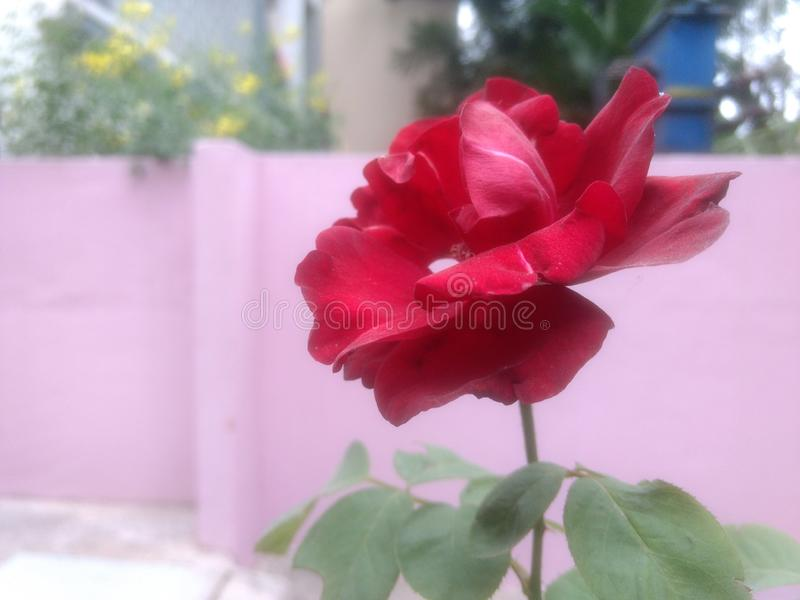 Rose de rouge indien photos stock