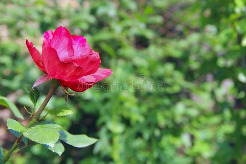 Rose de rouge s'élevant dans le jardin Belle fleur de plan rapproché de fleur dans le jardin photo libre de droits