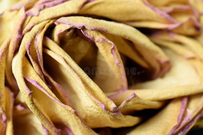 Rose de séchage de jaune photo stock