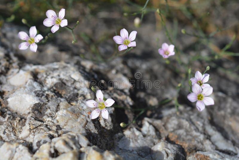 Rose de saxifrage photographie stock libre de droits
