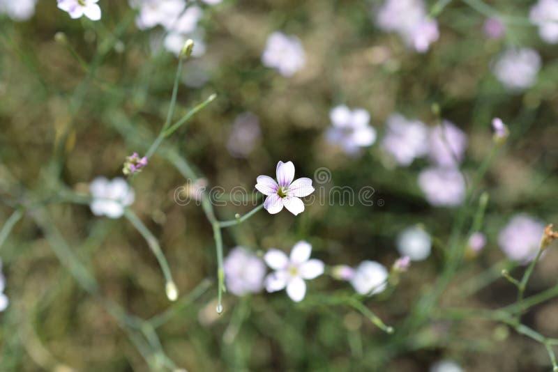 Rose de saxifrage image stock