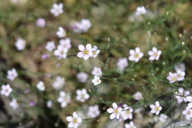 Rose de saxifrage photo libre de droits