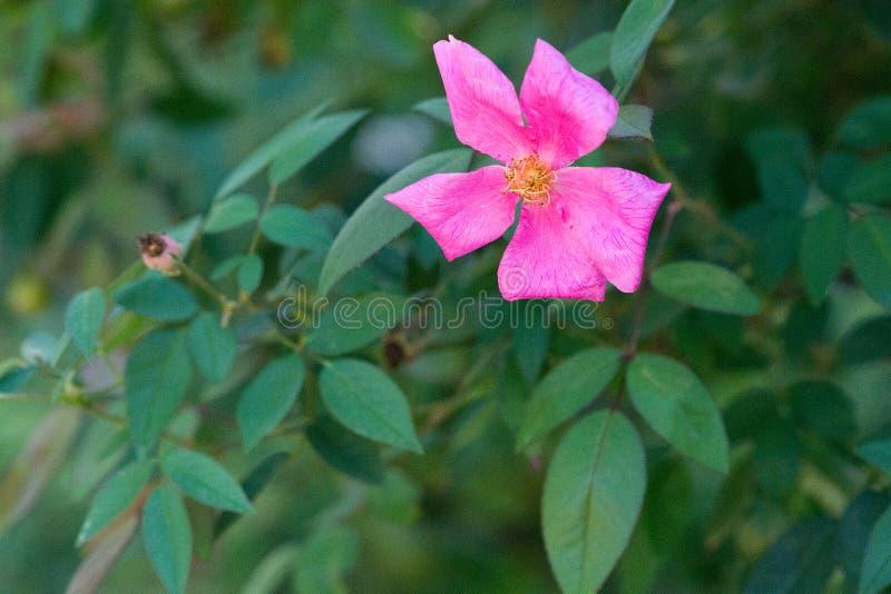 Rose de rose sur le fond vert mou photos libres de droits