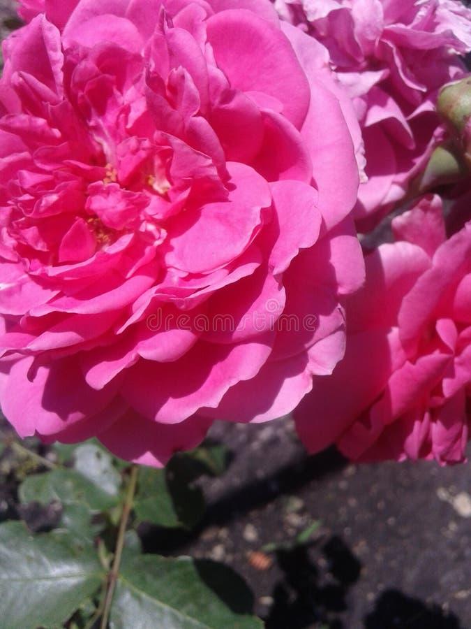 Rose rose de thé nature Été images stock