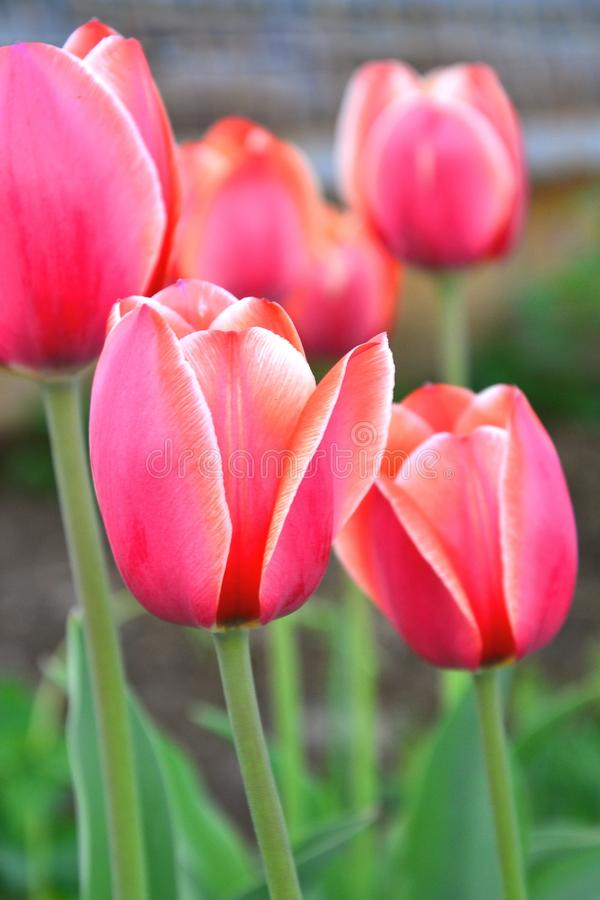 Rose de tulipe photographie stock