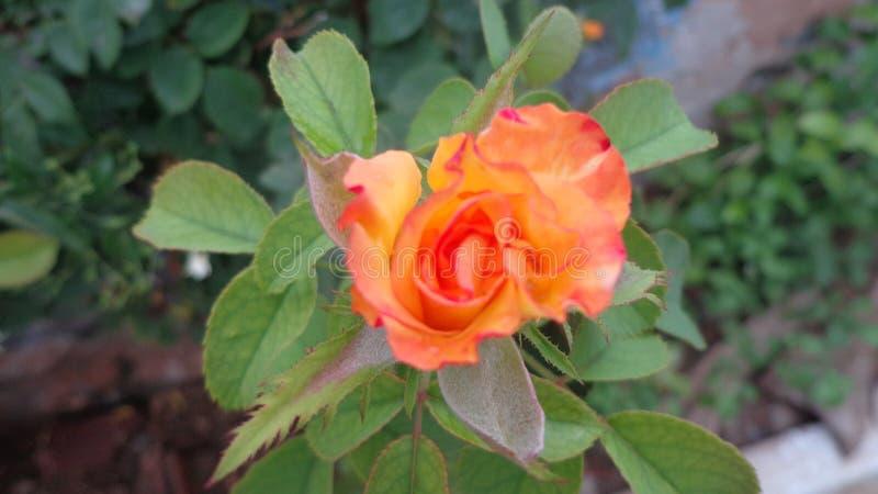 Rose del amor imagen de archivo libre de regalías