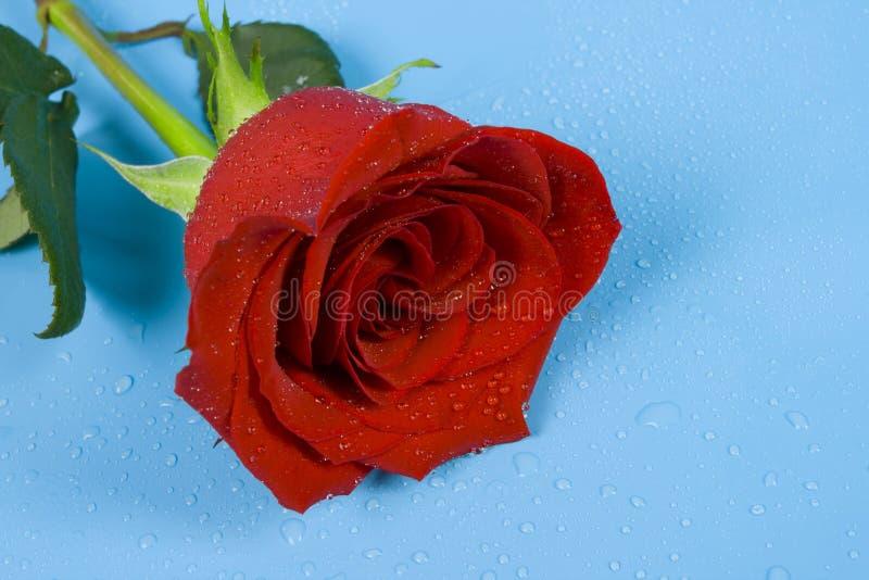 Rose del amor con gotas fotos de archivo