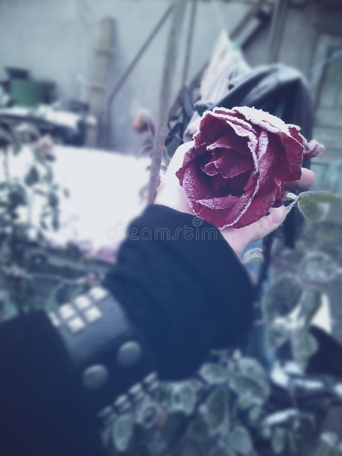 Rose del invierno imagen de archivo