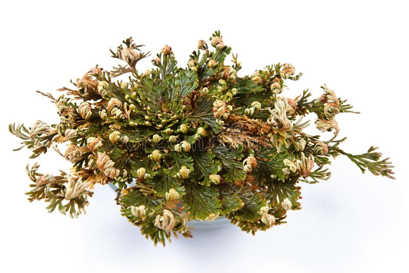 Rose del lepidophylla de Jericho Selaginella, Rose de Jericó falsa, otros nombres comunes incluye Jericó subió, musgo de la resur foto de archivo libre de regalías