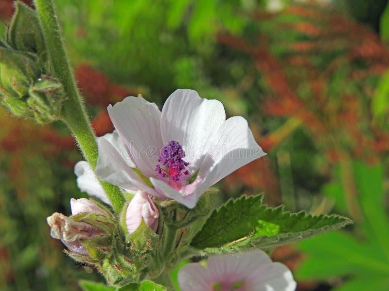Rose delicate di estate graziosa fotografie stock libere da diritti