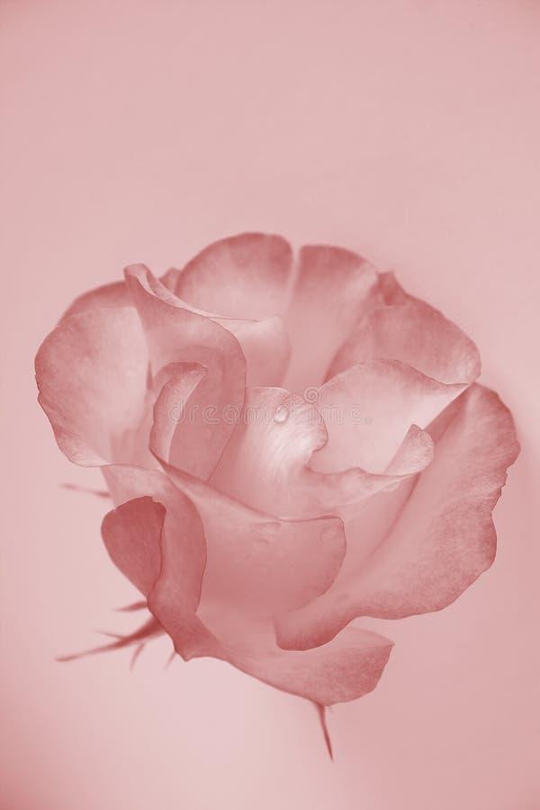 rose delikatnie obrazy stock