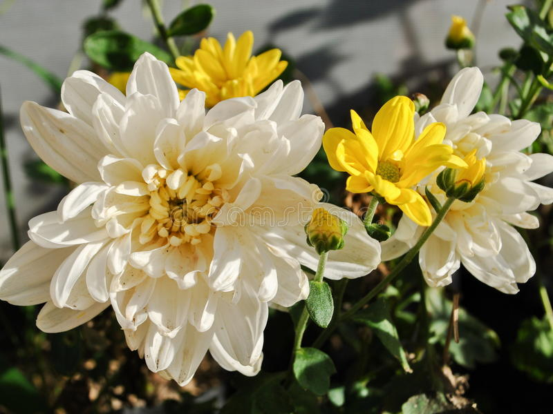 Rose delle fioriture immagine stock libera da diritti