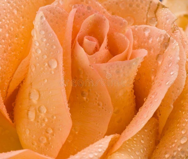 Rose in den Tautropfen lizenzfreie stockfotos