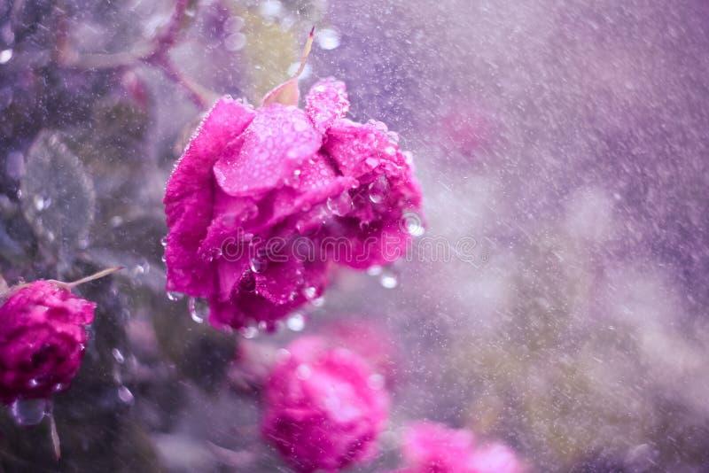 Rose in den Tropfen des Regens stockbild