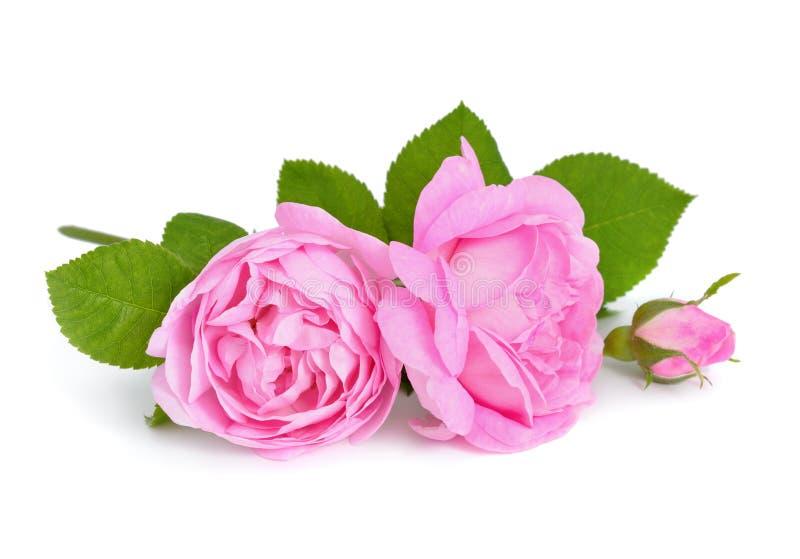 Rose dentellare fotografie stock