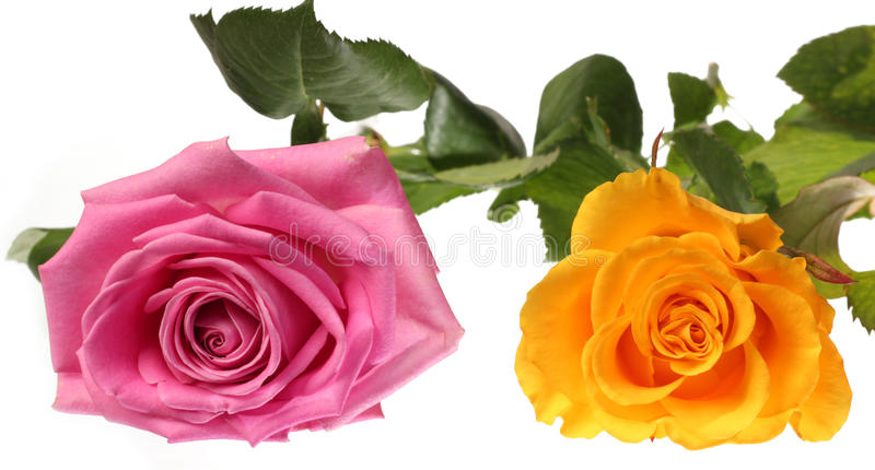 Rose dentellare e gialle immagine stock