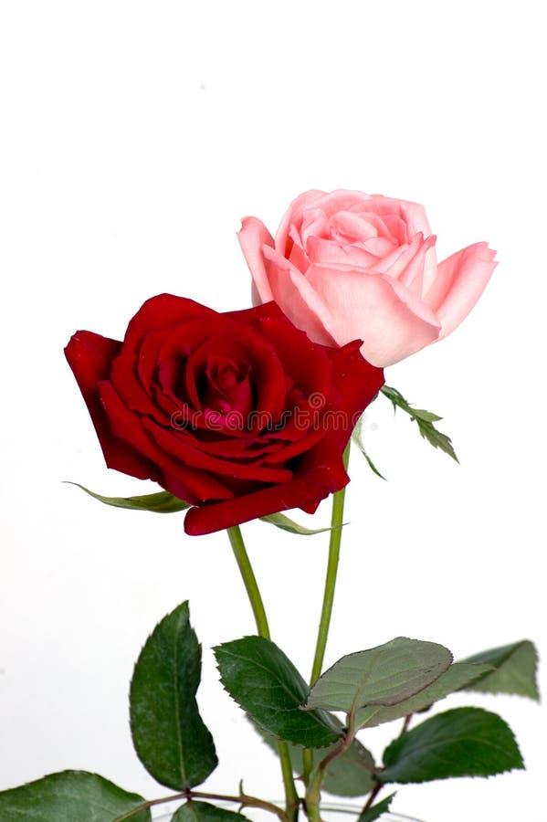 Rose dentellare e rosse fotografia stock libera da diritti