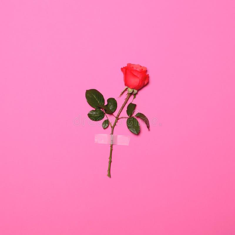 Rose der frischen Blume aufgenommen auf rosa Pastellhintergrund - minimales flaches gelegtes Konzept stockbild