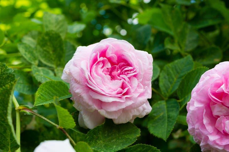 Rose der rosa Farbe auf einem grünen Hintergrund stockfotografie