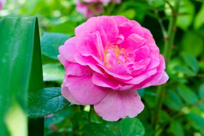Rose der rosa Farbe auf einem grünen Hintergrund lizenzfreies stockfoto
