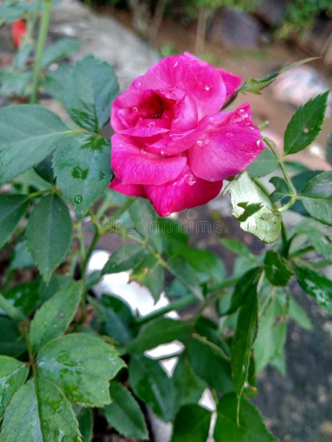 Rose des indischen Rotes stockfotografie