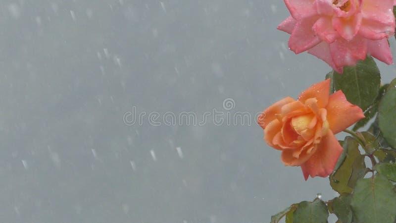 Rose des pétales s'ouvrent sous la pluie photographie stock