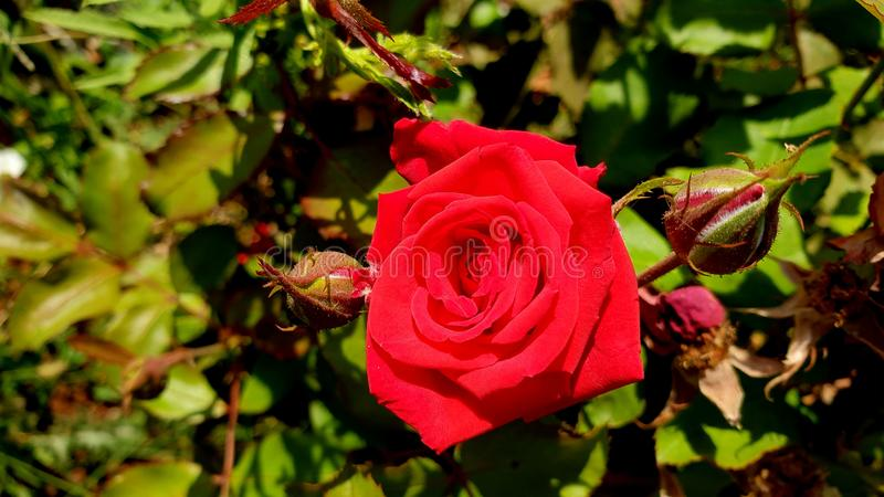 Rose des Vase lizenzfreie stockfotos