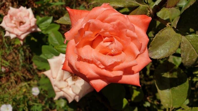 Rose des Vase lizenzfreies stockbild