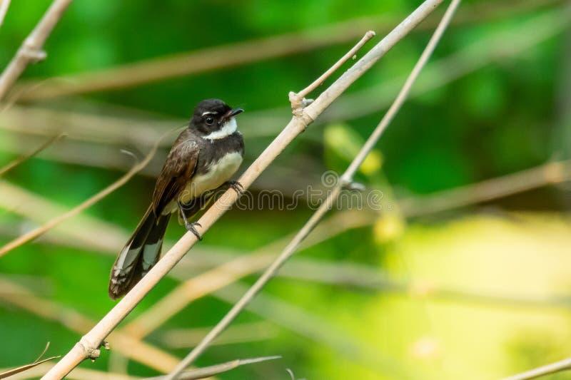 Rose des vents pie malaisienne étant perché sur la perche en bambou avec le fond vert de feuilles de tache floue image stock