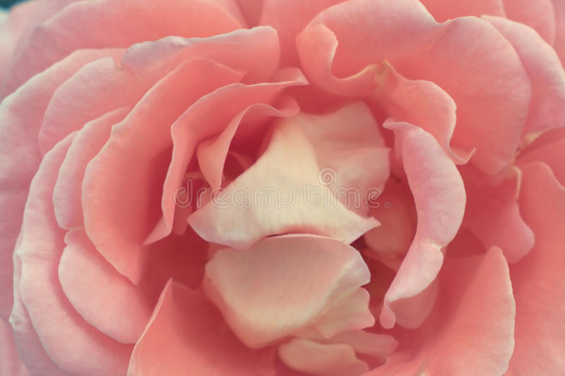 a rose stock photography