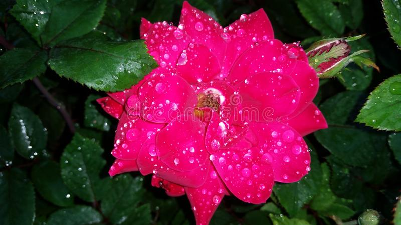 Rose wet at night stock photography