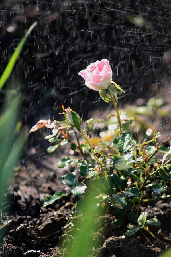Rose in the dew drops royalty free stock image