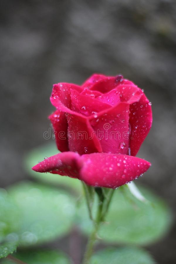 The rose with dew drops. The Beautiful red rose with dew drops blooms every  mind and brings peace royalty free stock photo
