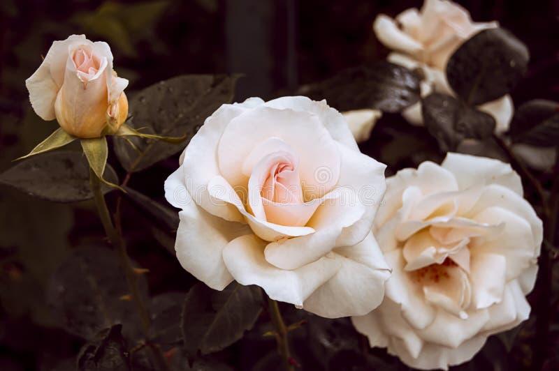 Rose di fioritura della crema del cespuglio fotografia stock libera da diritti