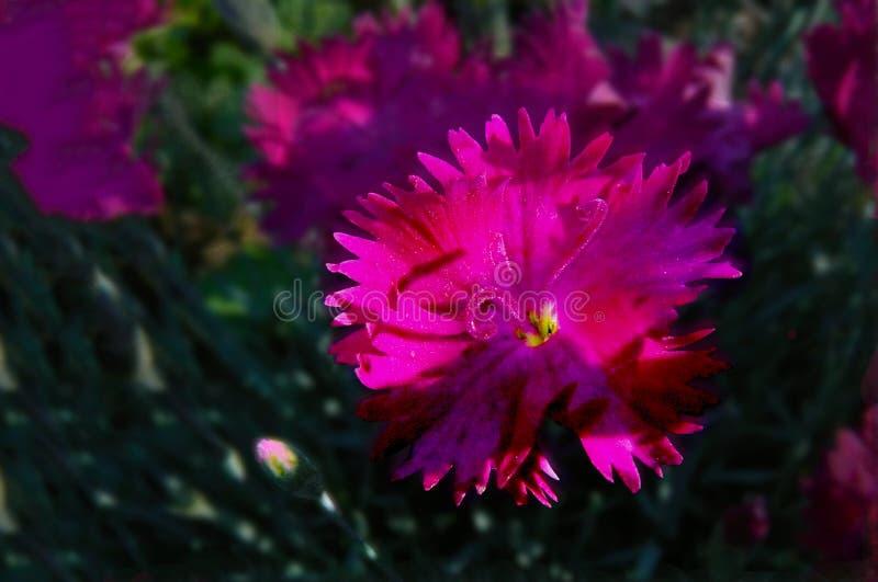 Rose di giardino guarniti rosso bluastro con il germoglio fotografia stock libera da diritti
