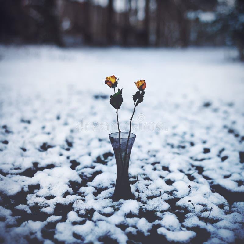 Rose di inverno fotografie stock libere da diritti