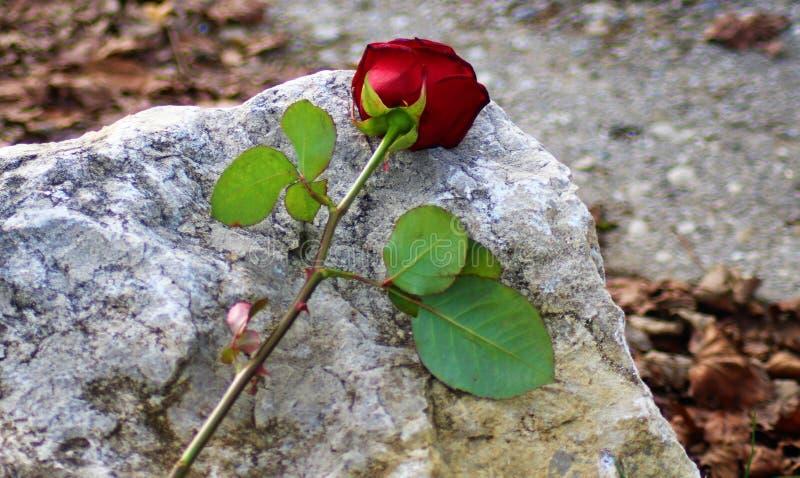 Rose, die auf einen Stein für mehr Ausdruck legt stockfotos