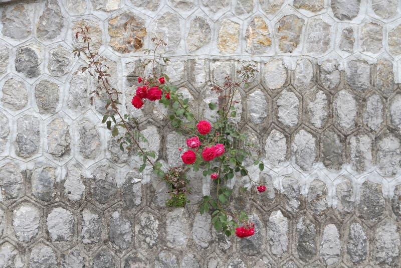 Rose, die aus Wand heraus wächst stockbild