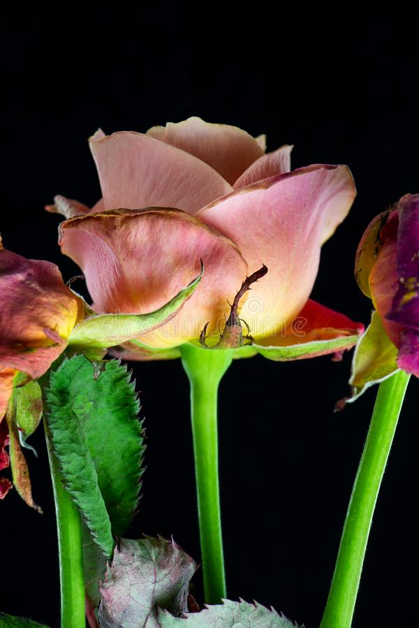 Rose, die nicht auf Liebe wartete lizenzfreies stockfoto