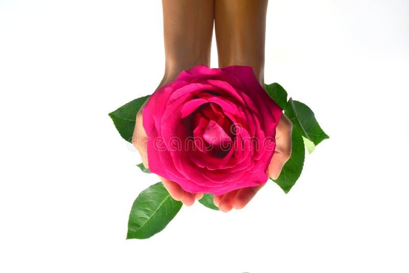 Rose a disposición fotos de archivo