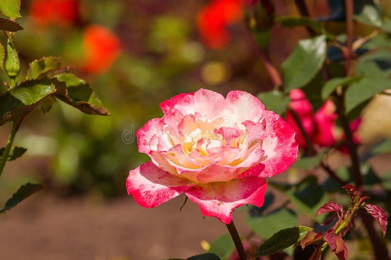 Rose Double Delight royalty-vrije stock fotografie