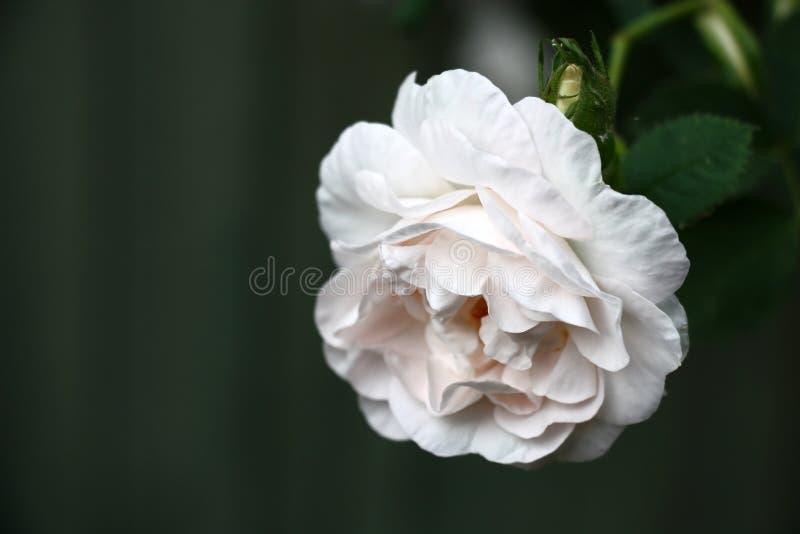 Rose douce sur un fond foncé photos stock
