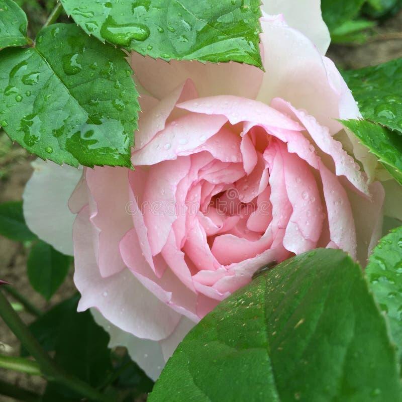 Rose doux photo libre de droits