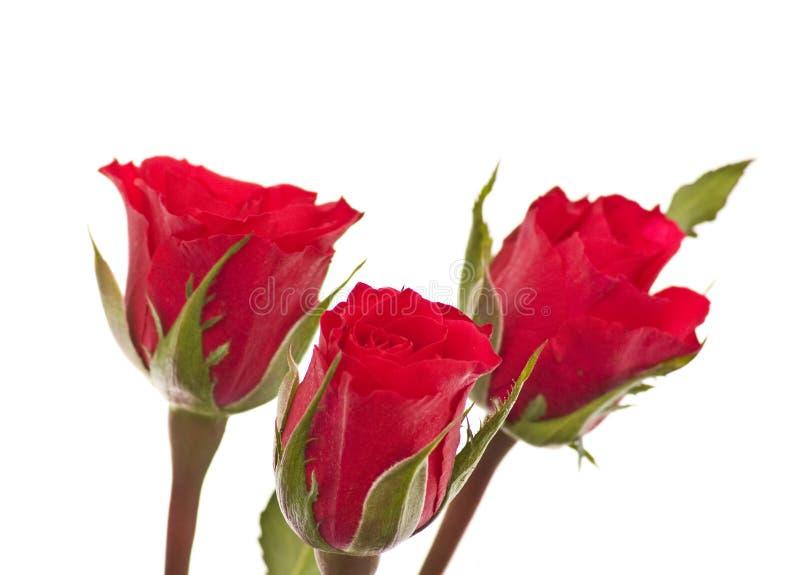 Rose drei, getrennt lizenzfreies stockbild