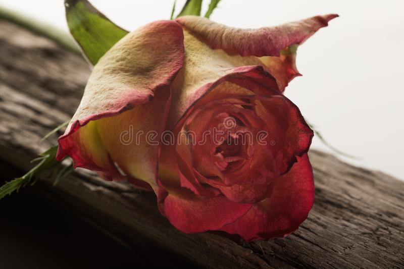 Rose on driftwood. A dried out rose laying on driftwood stock image