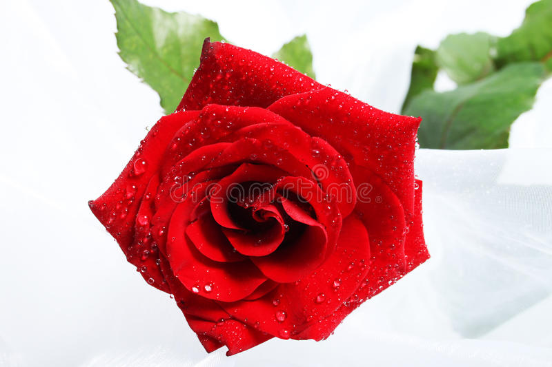 Download Rose with drops stock image. Image of gift, love, flower - 13300705