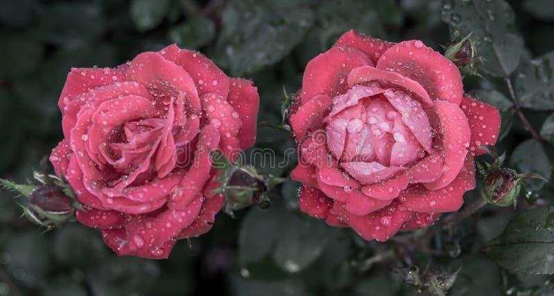 Rose Drops images libres de droits