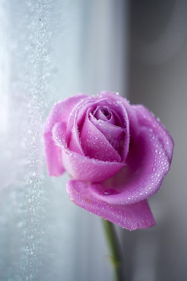 Rose in drops. stock photo