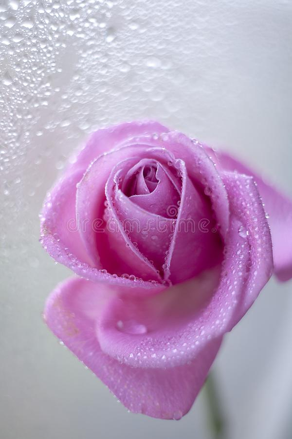 Rose in drops. stock images